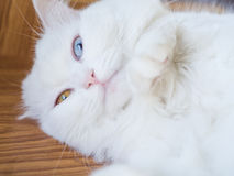 Chat impair persan de yeux Photo stock