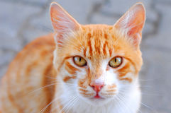 Chat jaune Photos libres de droits
