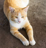 Chat jaune Images stock