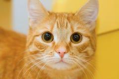 Chat jaune. Photo stock
