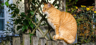 chat Jaune-brun Photo stock