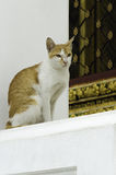 Chat jaune dans le temple thaïlandais Image libre de droits