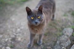 Chat jaune de yeux de plan rapproché regardant dans l'appareil-photo Photos stock