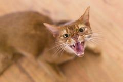 Chat jaune fâché Photo libre de droits