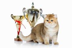 Chat Jeune chaton britannique d'or sur le fond blanc Image libre de droits