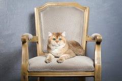 Chat Jeune chaton britannique d'or sur le fond texturisé gris Photos libres de droits