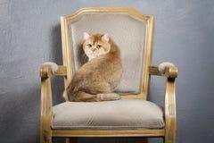 Chat Jeune chaton britannique d'or sur le fond texturisé gris Image libre de droits