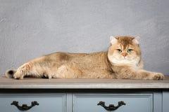 Chat Jeune chaton britannique d'or sur le fond texturisé gris Photo libre de droits