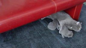 Chat jouant avec des chatons sur le tapis banque de vidéos
