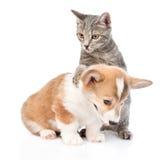 Chat jouant avec un chiot de Pembroke Welsh Corgi D'isolement sur le blanc Photographie stock