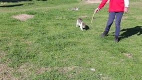 Chat jouant avec un jouet sur l'herbe verte en parc banque de vidéos