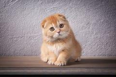 Chat Les écossais plient le chaton sur la table en bois et le backgroun texturisé Images stock