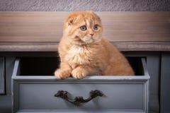 Chat Les écossais plient le chaton sur la table en bois et le backgroun texturisé Image stock