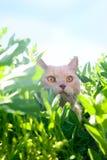 Chat lisse-d'une chevelure anglais Photo libre de droits