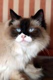 Chat magnifique de ragdoll Image libre de droits