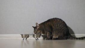 Chat mangeant de la nourriture de la cuvette clips vidéos
