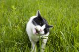 Chat mangeant l'herbe Images stock