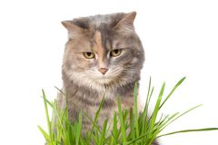 Chat mangeant l'herbe de chat Photos stock