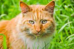 Chat mangeant l'herbe verte dehors photo stock