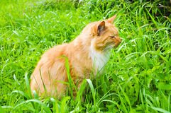 Chat mangeant l'herbe verte dehors photos stock