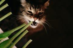 Chat mangeant la plante verte, montrant des dents et de grands favoris Beautifu Photographie stock libre de droits