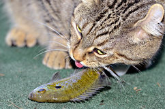 Chat mangeant un poisson Photo stock