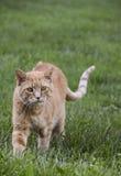 Chat marchant dans l'herbe image libre de droits