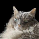 Chat masculin sibérien angora avec les yeux impairs Photographie stock libre de droits