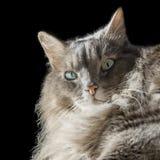 Chat masculin sibérien angora avec les yeux impairs Images libres de droits