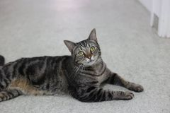 Chat masculin tigré posant pour l'appareil-photo images stock
