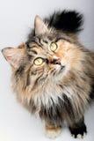 Chat mignon. Image libre de droits