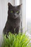 Chat mignon avec des pousses de vert de blé, élevage d'herbe Photo stock