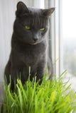 Chat mignon avec des pousses de vert de blé, élevage d'herbe Images libres de droits