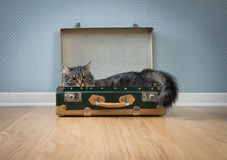 Chat mignon dans une valise de vintage Photo libre de droits