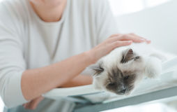 Chat mignon de birman se trouvant sur une chaise Photo stock