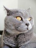 Chat mignon de Gray British Short Hair regardant loin photo libre de droits