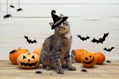Chat mignon de rayures dans un chapeau de sorcières avec des potirons, des araignées et la batte Images stock