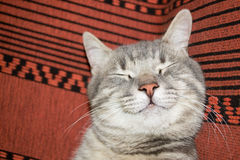 Chat mignon de sommeil Photos stock