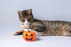 Chat mignon jouant avec le potiron de Halloween sur le fond blanc Concept de Veille de la toussaint photographie stock
