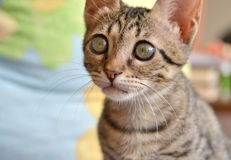 Chat mignon tigré Images libres de droits