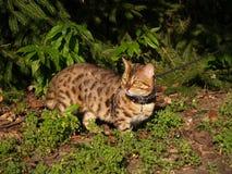 Chat mâle de la savane de Serval sur une laisse Photo libre de droits