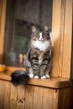 Chat montrant la langue Le chat se repose sur le rebord de fenêtre Chat se reposant sur la fenêtre à la maison dans le jour ensol Photographie stock libre de droits