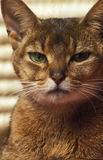 Chat moyen Photos libres de droits