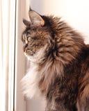 Chat multicolore avec de longs cheveux Maine Coon photo stock