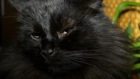 Chat noir à la maison hirsute Plan rapproché banque de vidéos