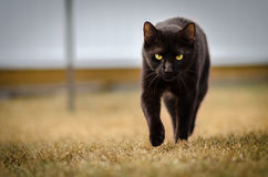 Chat noir égrappant, regard fixe fixe Photos libres de droits