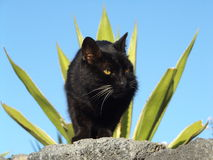 Chat noir photo libre de droits