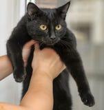 Chat noir aux cheveux courts Photos libres de droits