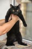 Chat noir aux cheveux courts Photographie stock libre de droits