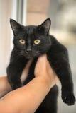Chat noir aux cheveux courts Photo stock